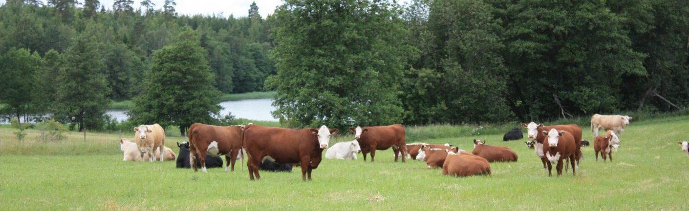 Kuvakaruselli – lehmä